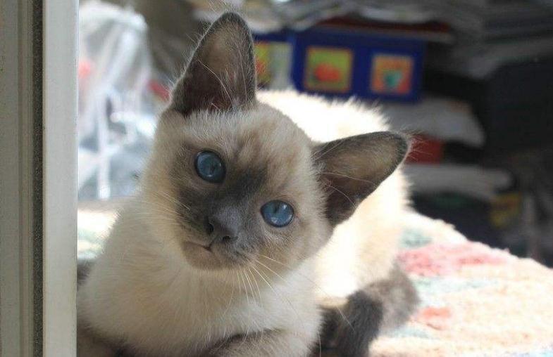 暹罗猫的性格怎么样